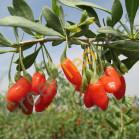 Ягоды годжи сушеные средние, 50 грамм