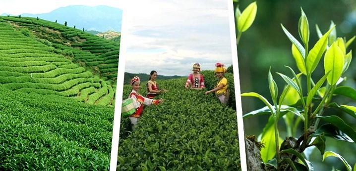 Сбор чайных листьев в Китае